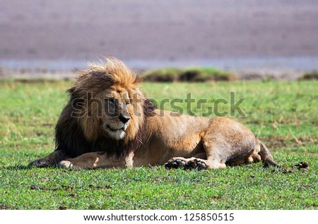 Big male lion on savanna. Safari in Serengeti, Tanzania, Africa