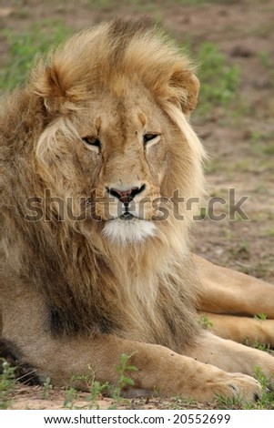Big male lion resting on the African grass