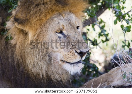 Big male lion rests under tree in Africa