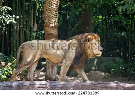Big male lion walking in the zoo. - stock photo