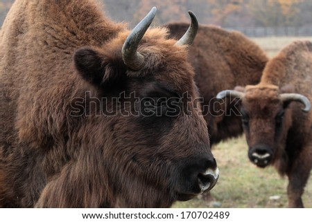 Big male of european bison stands in the autumn forest - stock photo