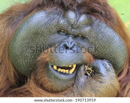 Big male Orangutan cleaning his teeth - stock photo