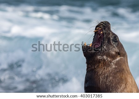 Big Male sea lion seal on Patagonia beach while roaring - stock photo