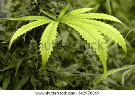 Big Marijuana Leaf on Indoor Cannabis Plant - stock photo