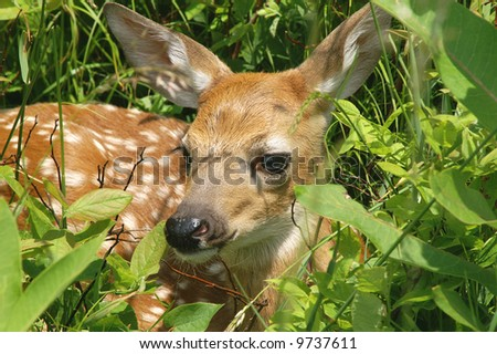 Big Meadow Virginia Whitetail Fawn - stock photo