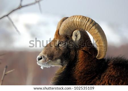 big mouflon male wearing its winter fur - stock photo