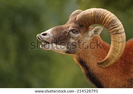 big mouflon ram ( Ovis orientalis ) mating ritual - stock photo