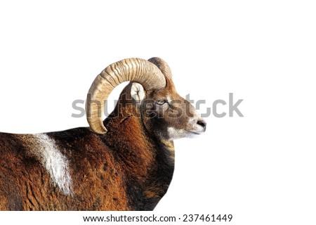 big mouflon ram portrait isolated  over white background - stock photo