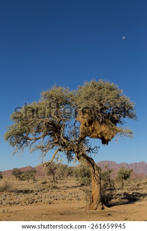 Big nest on a tree from Namibia