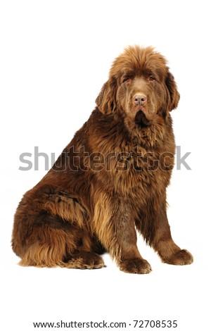 Big newfoundland  dog in studio on white background - stock photo