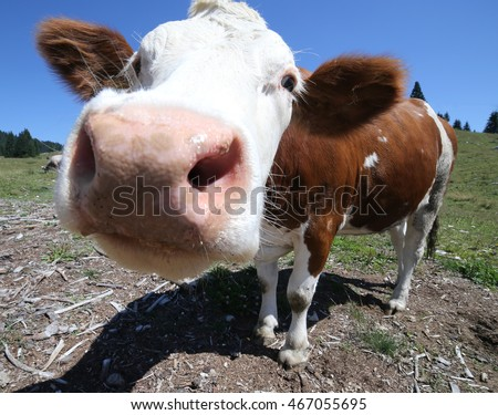 big nose cow grazing in the mountains photographed by fisheye lens