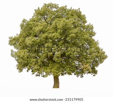 Big oak tree isolated on a white  - stock photo