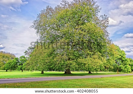 Big old Alder tree in Park of Audley End House in Essex in England. It is a medieval county house. Now it is under protection of the English Heritage. - stock photo