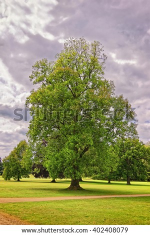 Big old maple tree in the Park of Audley End House in Essex in England. It is a medieval county house. Now it is under protection of the English Heritage. Person nearby - stock photo