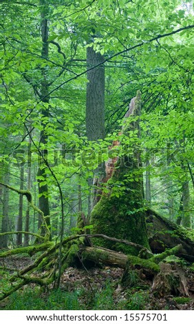 Big old oak and dead wood in foreground - stock photo