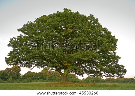Big, old oak tree still with green leaves in the fall in a winter crops field. - stock photo