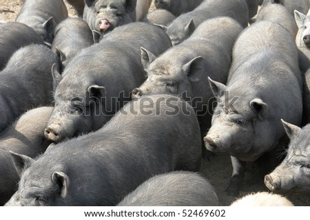 Big old pigs on a farm - stock photo