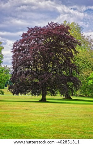 Big old tree with red leaves in Park of Audley End House in Essex in England. It is a medieval county house. Now it is under protection of the English Heritage. - stock photo