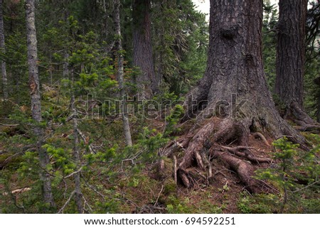 Big old tree with roots in the coniferous forest. Background.