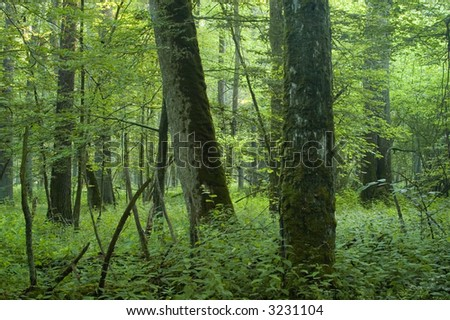 Big old trees in natural deciduous forest,early summer, Europe,Poland,Bialowieza Forest - stock photo