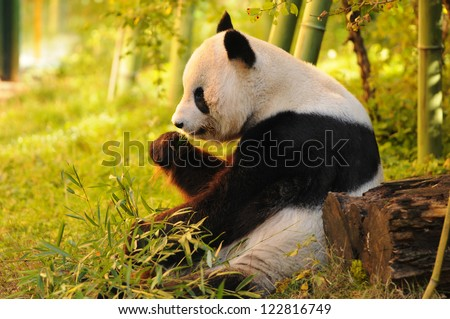 big panda sitting on the forest floor eating bamboo - stock photo