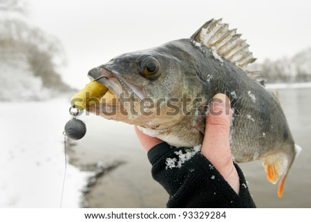 Big perch caught on jigbait on winter day, copy space - stock photo