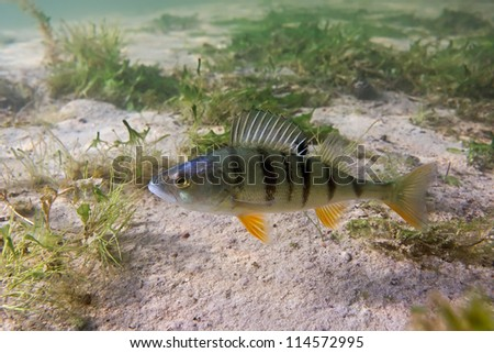 Big perch on the plants background - stock photo