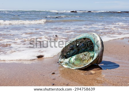 Big Perlemoen Abalone shell showing the iridescent nacre mother-of-pearl interior washed onto California beach at Pacific Ocean coast, USA