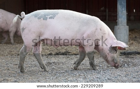 big pig full-length profile on animal farm background - stock photo