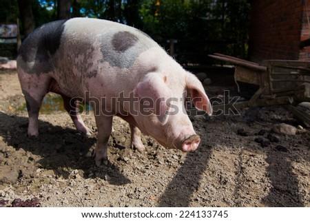 big pig on a farm - stock photo