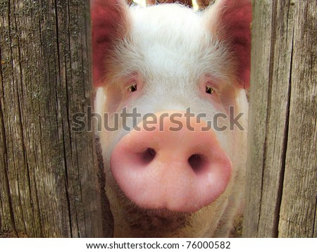 Big pig on a farm in a pigsty - stock photo