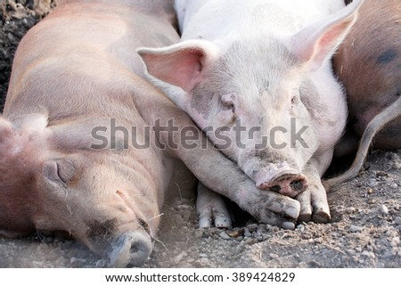 big pigs laying on the ground in farm yard - stock photo
