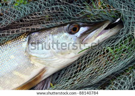 Big Pike (Esox lucius) on a landing net. - stock photo