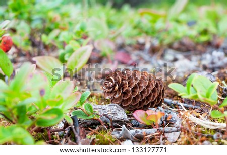 Big pine cone fallen from the tree lying on the grass - stock photo