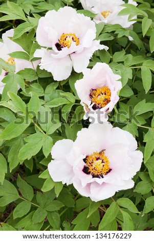 Big pink flower Peony tree in shade branch - stock photo