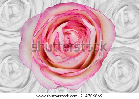 big pink rose in soft color and blur style with faded black-white rose as background - stock photo