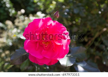Big pink rose yellow center summer stock photo royalty free big pink rose with yellow center in summer mightylinksfo