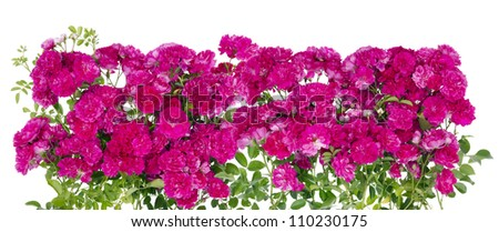 Big pink roses floral isolated hedge fence summer  border - stock photo