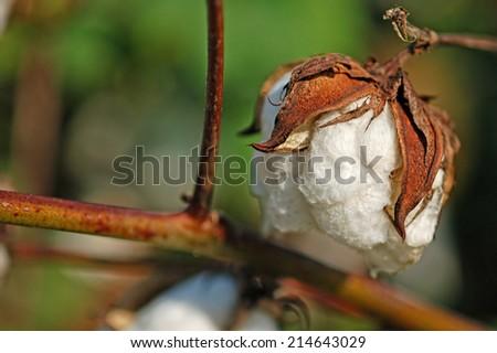 Big Plump Cotton Boll - stock photo