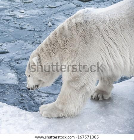 Big Polar Bear drink cold water - stock photo