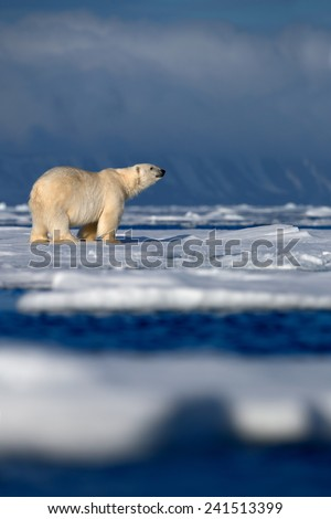 Big polar bear on drift ice with snow, blurred dark snowy mountain in background, Svalbard, Norway - stock photo