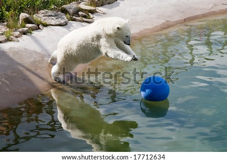big polar bear playing with ball in water - stock photo