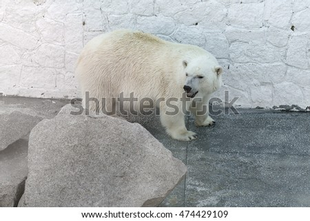big polar bear standing behind a large stone