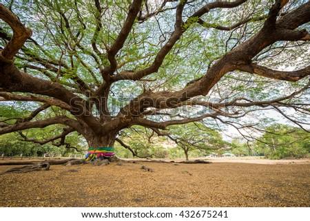 big Rain Tree with branch magnify - stock photo