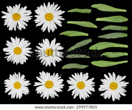 Big real gentle garden camomile flowers  and leaves set  isolated on black. On petals yellow spots of pollen - stock photo