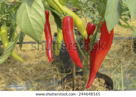 big red and green peppers and sweet peppers growing in the garden - stock photo
