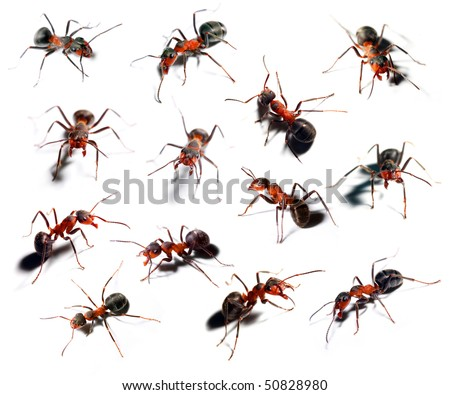 Big red ant in different position on white background. - stock photo