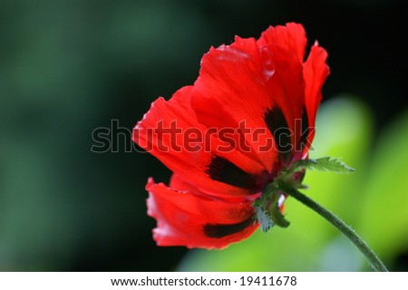 Big red corn poppy