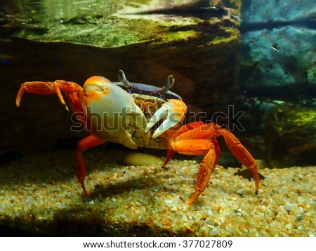 Big red crab on the sand. Caribbean crab.