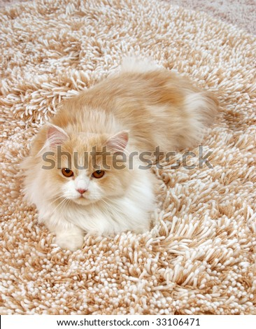 big red fluffy Persian cat on the shaggy carpet